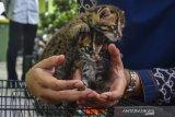 BBKSDA Riau rawat dua bayi kucing hutan temuan warga, begini penjelasannya