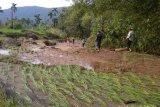 10 hektare sawah di Talamau rusak akibat banjir