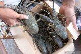 Menteri Edhy Prabowo : Prioritas utama budi daya lobster dan bukan ekspor