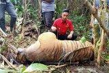 Seekor harimau mati terkena jerat pemburu di Bengkulu