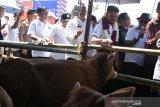 Pemerintah berupaya mempercepat swasembada daging