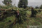 Petani memikul tanaman jagung untuk pakan ternak di Kadipaten, Kabupaten Tasikmalaya, Jawa Barat, Jumat (21/2/2020). Kementerian Pertanian (Kementan) menjamin pasokan jagung untuk industri pakan dan peternak tercukupi dengan proyeksi kebutuhan jagung pada 2020 untuk pabrik pakan sebesar 8,5 juta ton, sedangkan untuk peternak sebesar 3,48 juta ton. ANTARA JABAR/Adeng Bustomi/agr