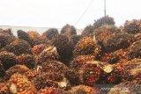 Harga sawit naik sementara di tengah pandemi corona