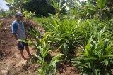 Petani lengkuas untung Rp100 juta per hektare