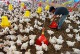 Ayam ras di Lampung Timur dijual murah