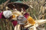 Buruh tani memetik jagung saat panen raya di Kasreman, Ngawi, Jawa Timur, Senin (24/2/2020). Kementerian Pertanian memprediksi produksi jagung sepanjang tahun 2020 mencapai 24,16 juta ton sehingga relatif aman untuk memenuhi kebutuhan jagung di pabrik pakan ternak sebesar 8,5 juta ton serta peternak sebesar 3,48 juta ton. Antara Jatim/Ari Bowo Sucipto/zk
