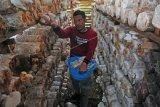Pemilik usaha memanen jamur tiram organik di ruang budi daya jamur, Bagan Pete, Alam Barajo, Jambi, Jumat (21/2/2020). Usaha budi daya jamur organik yang dipasarkan ke sejumlah pasar tradisional setempat, yang dirintis sejak 2009 tersebut saat ini memiliki omzet Rp15 juta - Rp20 juta per bulan. ANTARA FOTO/Wahdi Septiawan/ama.
