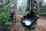 Petani memanen getah karet di Kota Baru, Jambi, Minggu (23/2/2020). Harga jual getah di daerah itu turun dari Rp9.300 per kilogram pada bulan lalu menjadi Rp8.400 per kilogram dalam beberapa hari terakhir. ANTARA FOTO/Wahdi Septiawan/foc.