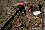 Target produksi ubu kayu