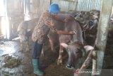 Dinas Pertanian periksa kesehatan ternak di kawasan banjir