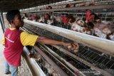Pekerja mengutip telur ayam ras di kandang UPTD Balai Ternak Non Ruminansia (BTNR) Dinas Peternakan Provinsi Aceh, Blang Bintang, Aceh Besar, Aceh, Kamis (27/2/2020). Data Direktorat Kesehatan Masyarakat Veteriner menyebutkan konsumsi telur secara nasional sebesar 17,69 kg/kapita/tahun yang angka kebutuhannya sebesar 4.742.240 ton/tahun sementara ketersediaan telur ayam ras mencapai 4.753.382 ton/tahun sehingga terjadi surplus sebesar 11.143 ton atau 929 ton perbulan. Antara Aceh/Irwansyah Putra.