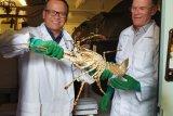 Menteri Edhy: Indonesia perlu mempelajari budidaya lobster Univ Tasmania