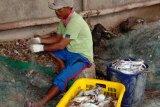 Tangkapan kepiting rajungan nelayan Labuhan Maringgai meningkat