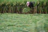 Pekerja menegakkan tanaman padi yang roboh dengan diikat tali di Kota Madiun, Jawa Timur, Selasa (3/3/2020). Hujan disertai angin kencang di wilayah tersebut yang terjadi Senin (2/3) mengakibatkan banyak lahan dengan tanaman padi berumur antara 70 hingga 80 hari roboh. Antara Jatim/Siswowidodo/zk