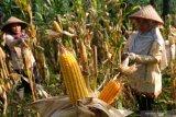 Kementan catat tepung jagung olahan asal Cilegon tembus pasar Israel