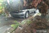 Flash - Dua mobil rusak tertimpa pohon tumbang di Jalan Ahmad Yani Padang