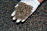 Produksi Larva Kering Untuk Ekspor