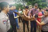 Seekor buaya ditangkap, warga Desa Mentaren diminta tetap waspada