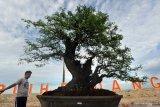 Bonsai seharga Rp100 juta ikuti pameran