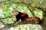 Penelitian genetik menunjukkan panda merah sebenarnya dua spesies berbeda