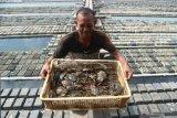 Seruyan perlu kembangkan budi daya kepiting