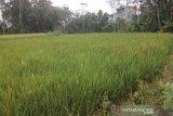 175 hektare tanaman padi di Pekalongan diserang hama tikus