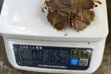 Harga udang kipas di Lampung Timur Rp90 ribu per kilogram