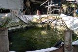 Program budi daya ikan bioflok di Mataram ditiadakan pada 2020