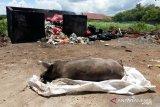 Ribuan ternak babi di daerah ini dilaporkan mati terserang virus ASF