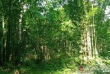 Peneliti: Pelestarian hutan bambu Tana Toraja sudah mendesak
