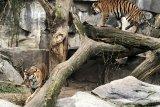 Harimau sumatera Oscar, Willi, Seri dan Kiara tumbuh sehat di Tierpark Berlin