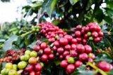 Menjadikan kopi Papua pintu masuk mencegah konflik