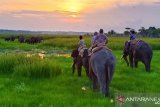 Puluhan gajah liar Way Kambas  dihalau warga