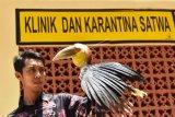 Karantina Burung Julang Emas