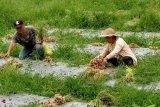 Program pangan Minahasa Tenggara antisipasi dampak Corona