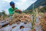 Petani Sumatera Selatan mulai kembangkan  tanaman bawang putih