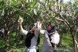 Petani Temanggung rintis wisata hortikultura petik buah jambu