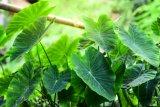 Manfaat daun talas