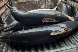 Di Tulungagung, lumba-lumba diperjualbelikan secara ilegal
