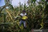 Buruh tani memanen jagung di Cilengkrang, Kabupaten Bandung, Jawa Barat, Kamis (26/3/2020). Petani menyatakan pada panen raya musim ini harga jagung di Bandung anjlok hingga 50 persen atau hanya Rp 2.000 per kilogram akibat stok yang menumpuk di pasar karena minimnya pembeli. ANTARA JABAR/Raisan Al Farisi/agr