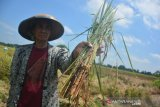 Buruh tani menunjukkan tanaman padi yang terserang hama wereng di areal persawahan Dusun Gondang, Desa Mojokrapak, Kecamatan Tembelang, Jombang, Jawa Timur, Kamis (26/3/2020). Petani setempat mengeluh tanaman padi yang hampir siap panen diserang hama wereng dan untuk menghindari kerugian lebih besar mereka memilih panen dini. Antara Jatim/Syaiful Arif/zk