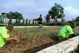 Mahasiswa di Medan panen bawang merah