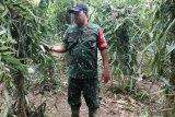 Babinsa Satgas TMMD bantu warga jadikan Kampung Kibay mandiri pangan