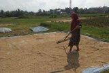 Panen raya padi di Lebak perkuat ketahanan ekonomi petani