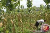 Petani jagung di Muna bergairah karena ada  jaminan pembeli