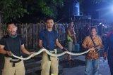 Ular sanca sepanjang dua meter bersarang di belakang kulkas rumah warga Setu Jakarta Timur