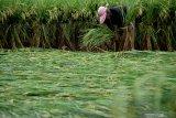 TANAMAN PADI ROBOH AKIBAT ANGIN. Pekerja menegakkan tanaman padi yang roboh dengan diikat tali di Kota Madiun, Jawa Timur, Selasa (3/3/2020). Hujan disertai angin kencang di wilayah tersebut yang terjadi Senin (2/3) mengakibatkan banyak lahan dengan tanaman padi berumur antara 70 hingga 80 hari roboh. Antara Jatim/Siswowidodo/zk