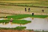 DPP Gunung Kidul imbau petani tidak tanam padi pada MT II