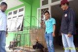 Kisah petani Agam selamatkan satwa dilindungi burung Rangkong Badak jatuh dari langit saat panen padi