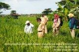 Petani Kulon Progo uji coba budi daya padi dengan sistem mulsa